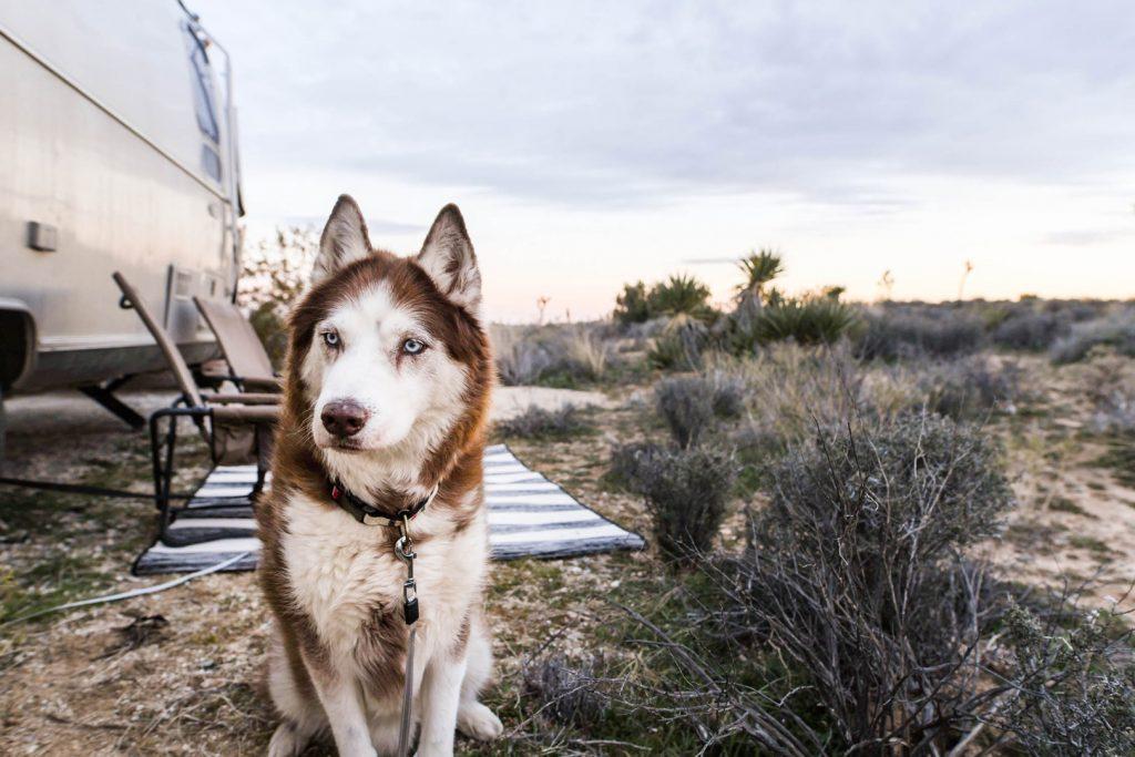 Husky Dog and Airstream Travel Trailer