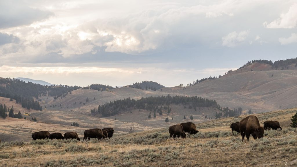 Airstream at Yellowstone National Park Buffalo Free Range