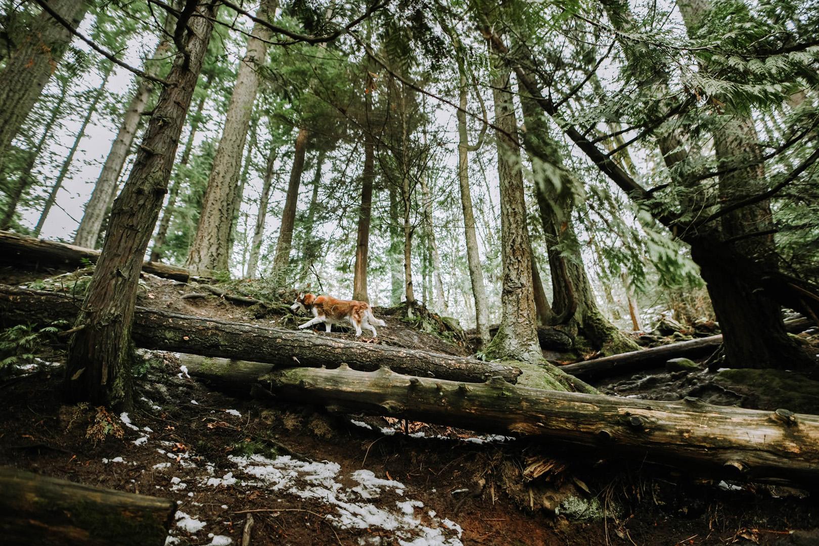 Airstream Travel Adventures Dog in Woods